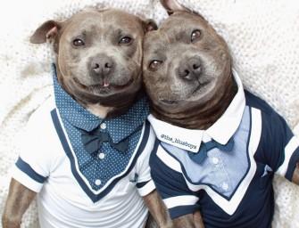Darren et Phillip, deux adorables Staffordshire Bull Terrier comme cul et chemise