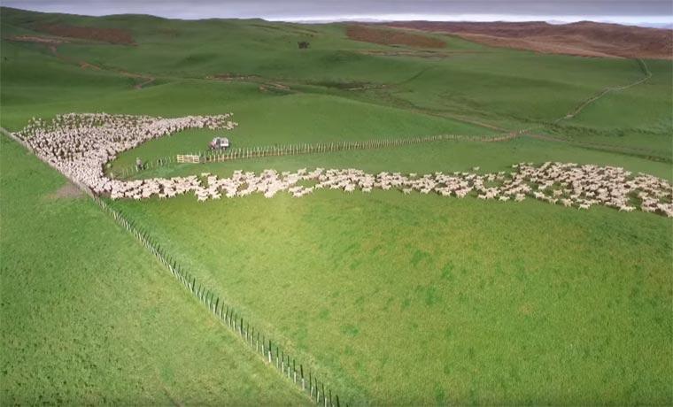 un troupeau vu du ciel2